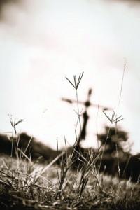 wheat_cross
